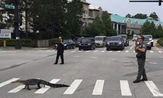 Алігатор з флориди перейшов дорогу прямо по «зебрі»