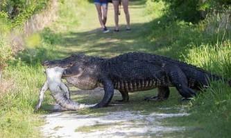 Алігатор з флориди з`їв свого молодшого побратима на очах у туристів