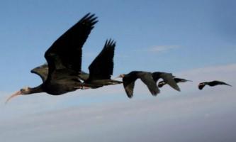 Альтруїзм допомагає птахам в далеких перельотах