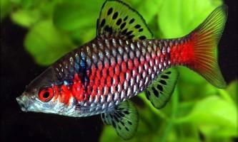 Яскраво-червоний барбус - маленька і дуже колоритна акваріумна рибка