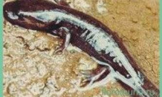 Амбістоматіхоокеанская / dicamptodon ensatus