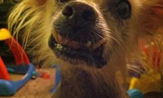 Американці готуються до конкурсу на найпотворнішого собаку світу 2013