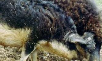 Самка темноспінного альбатроса в шістдесят знову стала мамою