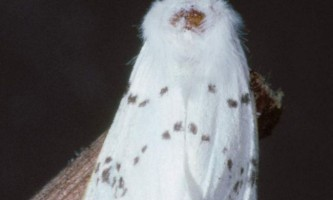 Американський білий метелик: опис комахи