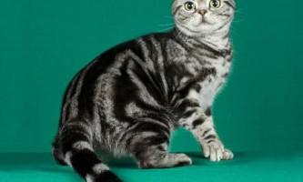 Американська короткошерста кішка (american shorthair)
