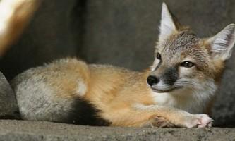 Американська лисиця - найменша лисиця на континенті