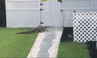 Скромний алігатор подзвонив у двері господині басейну
