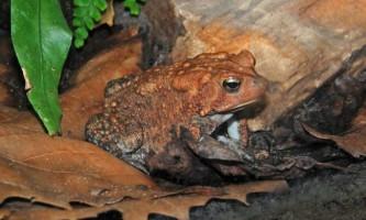 Американська жаба в тераріумі. Фото жаби