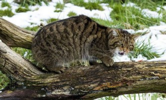 Американські лісоруби врятували дику кішку