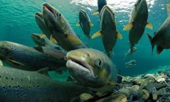 Американська влада визнала нешкідливим трансгенного лосося