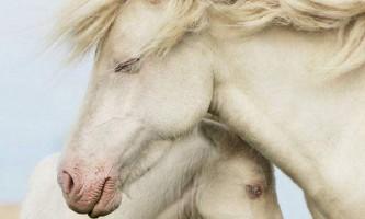 Американський альбінос або кінь альбино