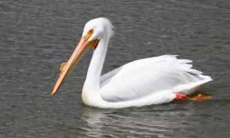 Американський білий пелікан: цікаві факти про птаха