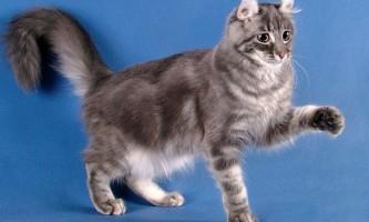 Американський керл - рідкісна порода кішок