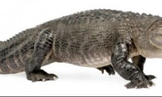Американський крокодил