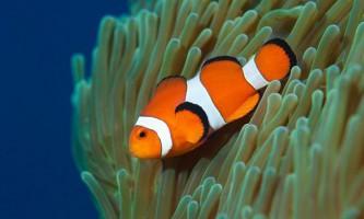 Амфіпріони, вони ж - риби-клоуни: фото, опис, види