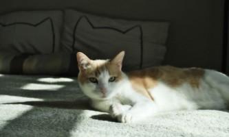 Амітразін: інструкція для кішок