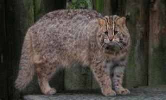 Амурський лісовий кіт - хижак трохи більше домашньої кішки