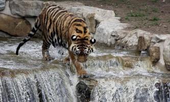 Амурський тигр влаштував водний атракціон в парку дикої природи