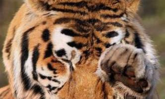 Амурський тигр