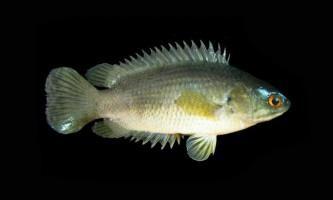 Анабас - риба, здатна ходити