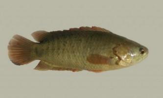 Бризгун або риба-стрілок