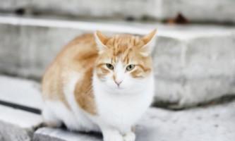 Анатолийская кішка