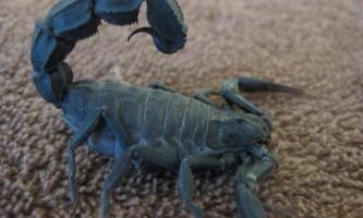 Андроктонус (androctonus) - один з отруйних скорпіонів