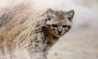 Андская кішка - дивно рідкісна мурка