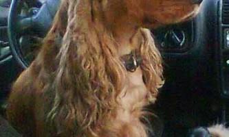Англійська кокер-спанієль - сама агресивна собака