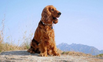 Англійська кокер-спанієль: найменший серед псів-мисливців