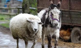 Англійську ослицю нагородили за порятунок барана