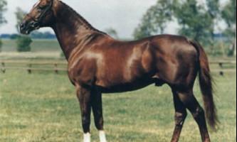 Англо-арабський кінь