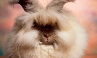 Ангорский кролик - пухнастий клубок