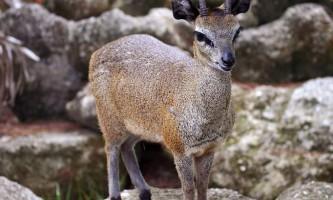 Антилопа стрибун - тварина, яке ходить навшпиньках
