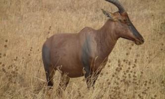Антилопа топи: зовнішній вигляд, поведінка і розмноження