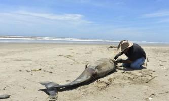 У австралії близько сотні дельфінів викинулися на берег