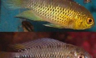 Апістограмма рейціга - барвиста акваріумна рибка