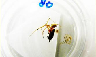 Арахнологи зловили павука з червоним іклом і таким же плямою на голові