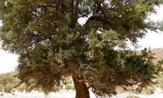 Арганія колючий - диво дерево північній африки