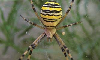 Аргіопа брюнніга, він же павук-оса