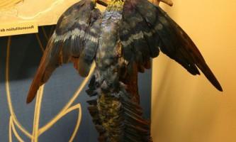 Археоптерикс з ознаками птахів