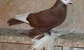 Армавірського белоголовние космачі (голуби)