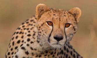 Вдалося зробити рідкісні кадри білого гепарда