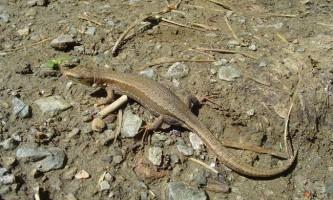 Артвінская ящірка