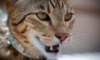 Ашера (англ. Ashera) - гібридна порода кішок