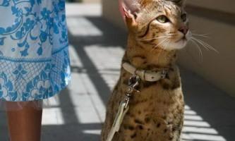 Ашера - найдорожча і найбільша домашня кішка