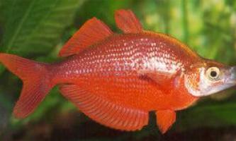 Атерина, atherinidae