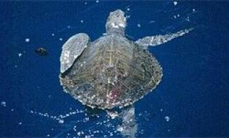 Черепаха кемпа - сама таємнича морська черепаха