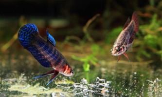 Аулофорус - корисні черв`ячки