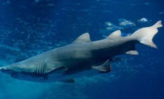 Австралієць спробував осідлати тигрову акулу